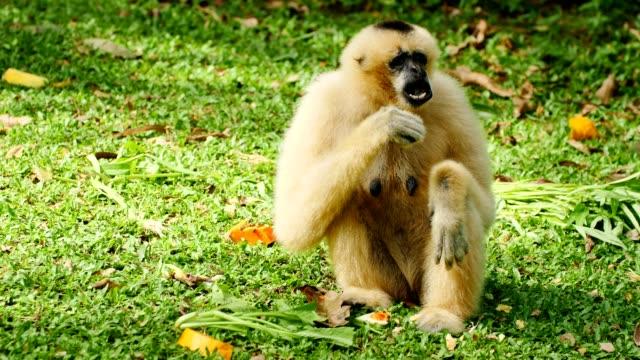 lar gibbon on the ground. - gibbone video stock e b–roll