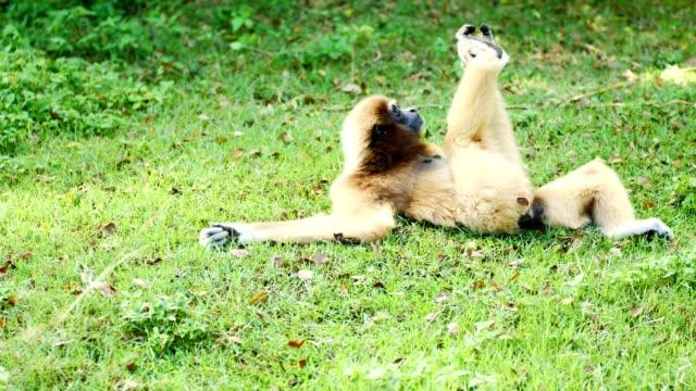 lar gibbon relax on the ground. - gibbone video stock e b–roll