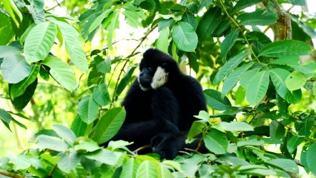 lar gibbon siting on tree. - gibbone video stock e b–roll