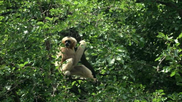 Lar gibbon sitting on branch