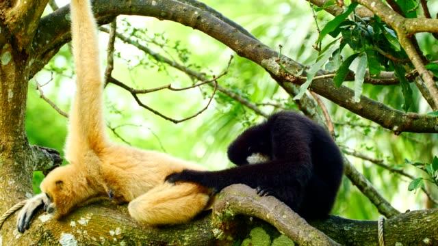 lar gibbon ta hand dess familj. - gibbon människoapa bildbanksvideor och videomaterial från bakom kulisserna