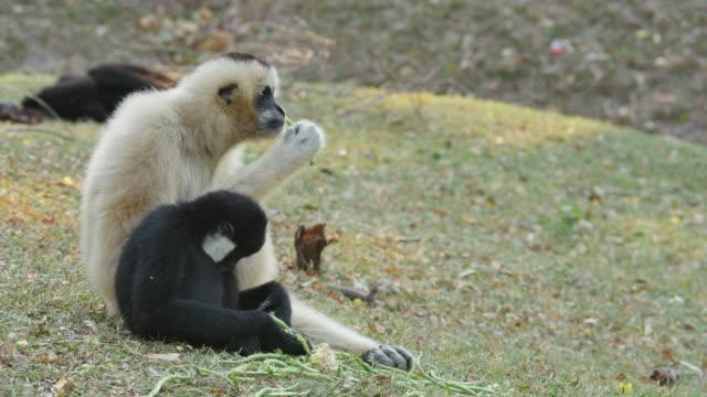 lar gibbon med sin unge. - gibbon människoapa bildbanksvideor och videomaterial från bakom kulisserna
