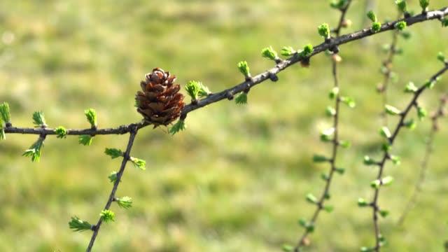 Larch cone closeup - bright vibrant green natural background. video