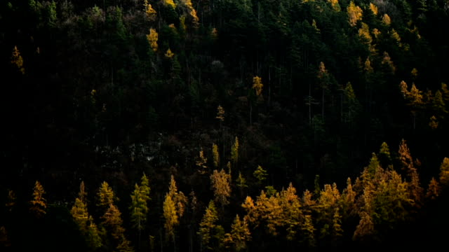 Larch trees and pine trees in autumn season video