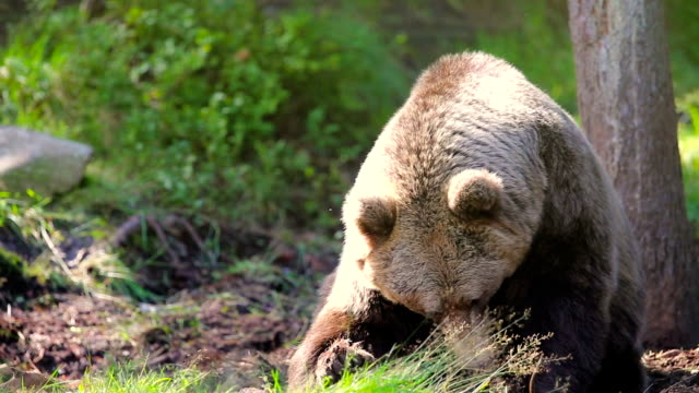 Large adult brown bear relaxing and scratching in the forest video