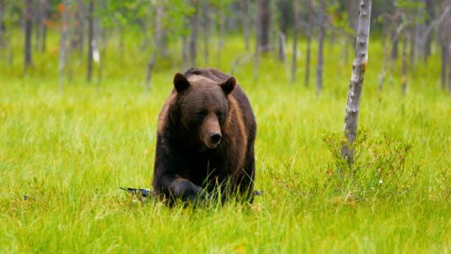 後ろに飛んでいる鳥、森を歩く大きな大人ヒグマ - クマ点の映像素材/bロール