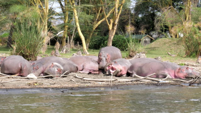 Large African Hippos Resting On The Shores Of Lake Naivasha, Yawn, Sleep video