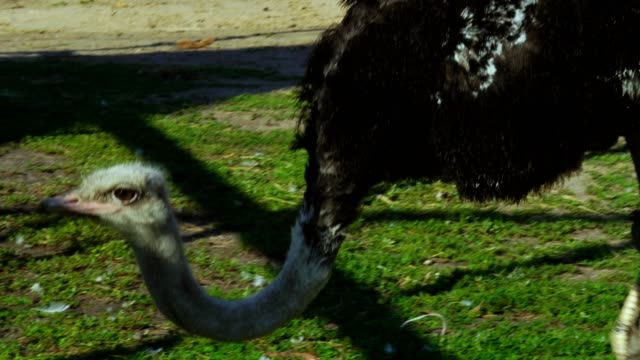 A large African ostrich (bird) walks the inner courtyard of the zoo. The ostrich searches for edible grass and eats it. video