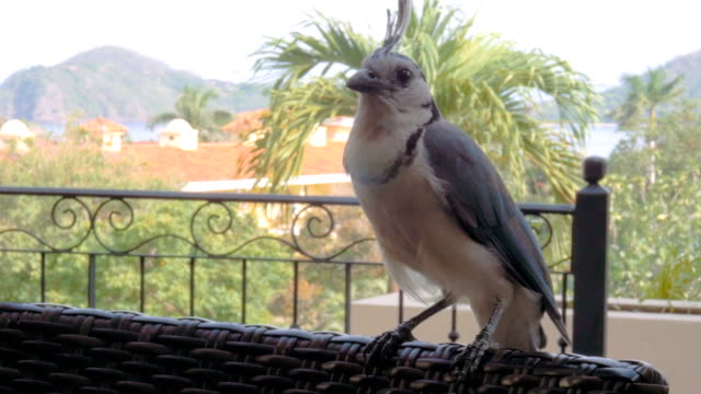 A large and unafraid Blue Jay perched on a chair in Costa Rica