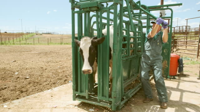 Large Animal Livestock Veterinarian