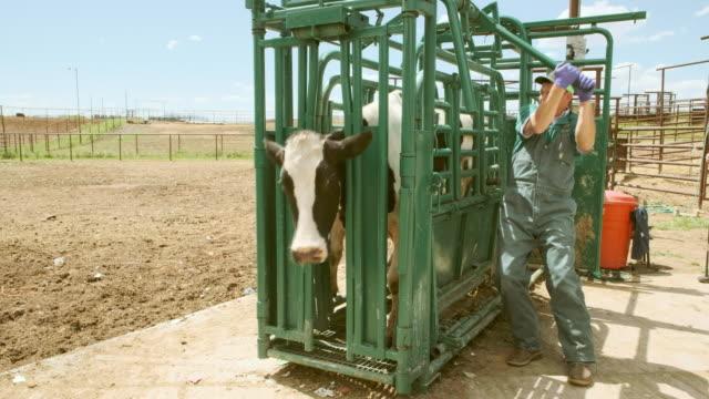 vídeos de stock, filmes e b-roll de veterinário de grandes animais de pecuária - animais da fazenda