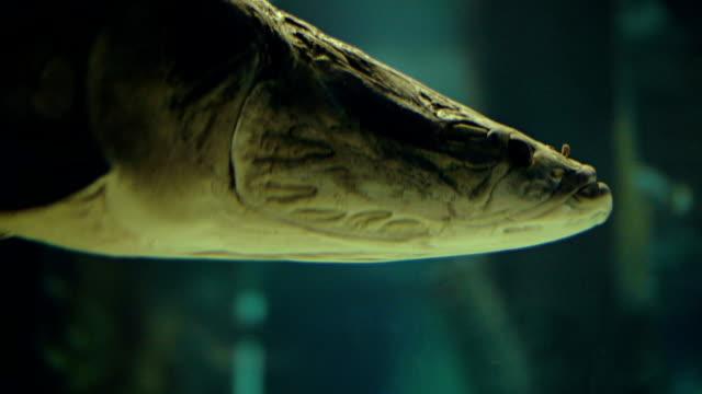 Large Arapaima under water video