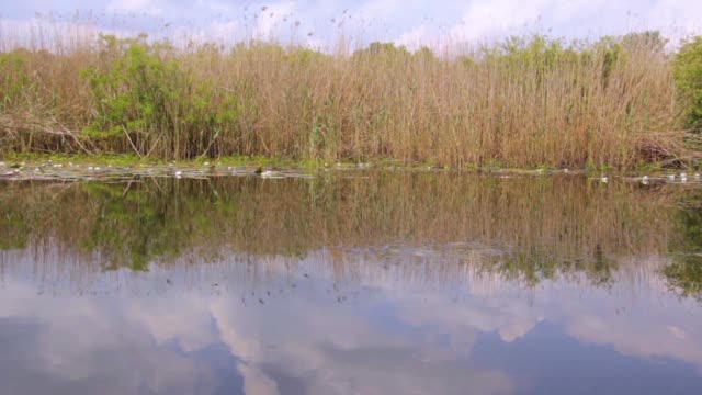 Large area of swamp with flowers and leafs water lily, drive to the right, Serbia (Obedska swamp) video