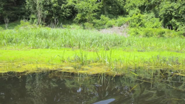 Large area of swamp with flowers and leafs water lily, drive to the left, Serbia (Obedska swamp) video