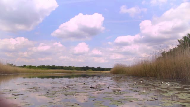 Large area of swamp with flowers and leafs water lily, Serbia (Obedska swamp) video