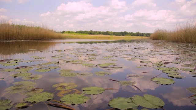 Large area of swamp with leafs water lily, Serbia (Obedska swamp) video