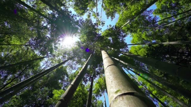 A large bamboo forest under the sun