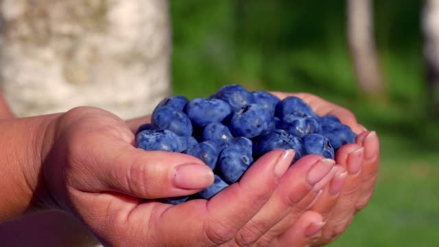 Large beautiful blueberries in palms - video
