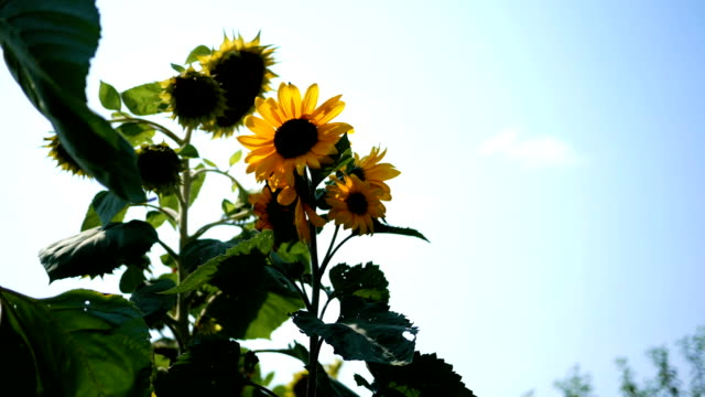large beautiful sunflower plant against a blue sky - joseph kelly stock videos and b-roll footage