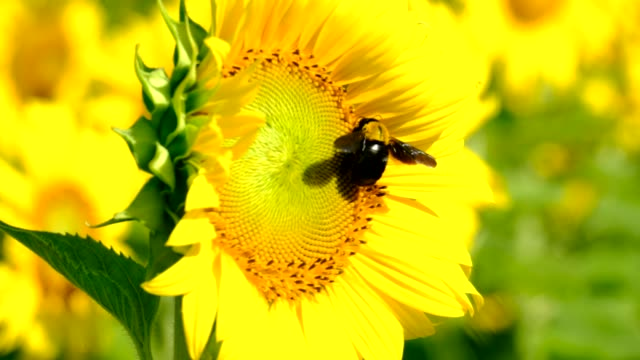 large bee on sunflower in a sunflower field. Close up