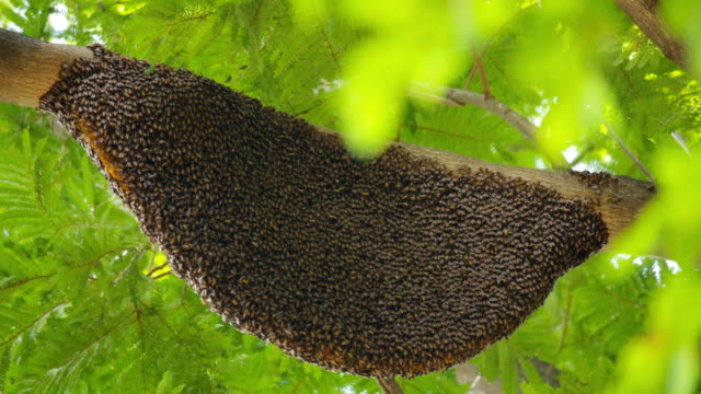 large beehive in  a tree video