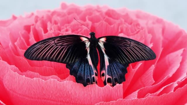 large black butterfly is sitting on a large artificial pink flower, close-up. copy space - skrzydło zwierzęcia filmów i materiałów b-roll