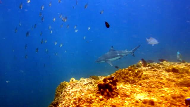 Large Black Tip Reef Shark (Carcharhinus melanopterus) swimming close up on coral reef, Phi Phi Islands, Andaman Sea, Thailand. video