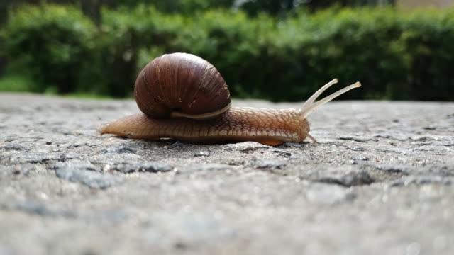 vidéos et rushes de un grand escargot de raisin brun beau traverse une route d'asphalte. mouvement lent d'un escargot. flux de temps. defocus. la verdure en arrière-plan - coquille et coquillage