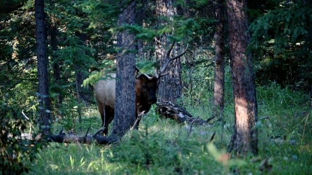 Large Bull Elk, Cervus elephas walking in pine forest