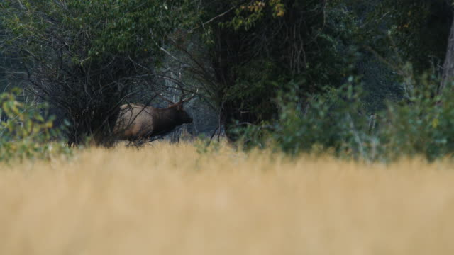 A large bull elk walks through the trees, bugling as he watches his females. video