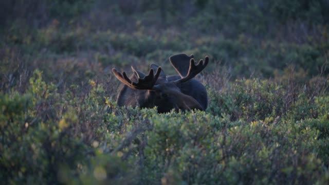 ein großer bull moose browsing am morgen - elch stock-videos und b-roll-filmmaterial
