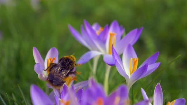 vidéos et rushes de un grand bourdon pollinisateur les fleurs de crocus. - crocus