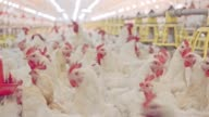 istock Large chicken farm with thousends of hens and roosters 1089884092