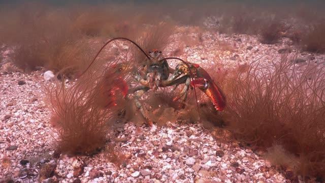 vidéos et rushes de gros homard griffes - coquillage