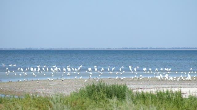 Large colony of great white heron on the shore of the Shagany Lagoon (Tuzlovski Lagoons National Park)