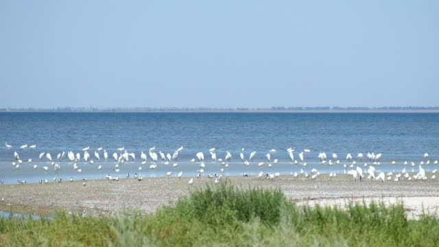 Large colony of great white heron on the shore of the Shagany Lagoon (Tuzlovski Lagoons National Park) video