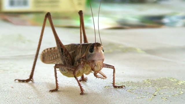 grande cricket primo piano - arto inferiore animale video stock e b–roll