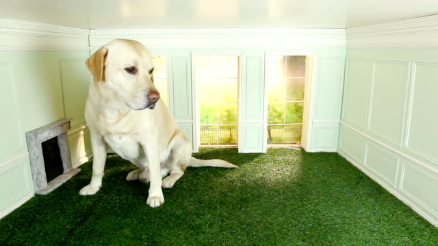stockvideo's en b-roll-footage met large dog in small room - klein