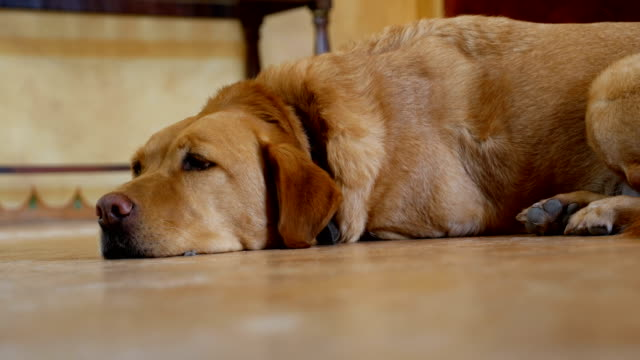 Video Large dog lying on the floor sleeping, waking up and walking away