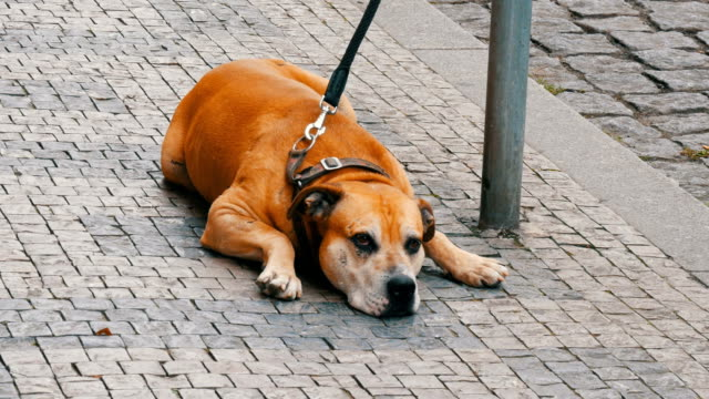 Large dog sits on a leash in the street, passing by the feet of a crowd of people in the street of Prague, Czech Republic. A lonely dog is waiting for its owner video