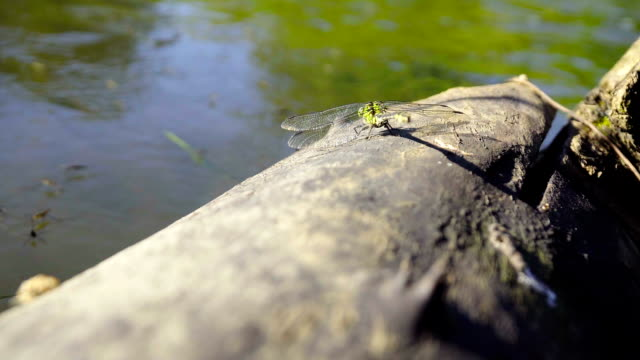 large dragonfly sits on a log near the water - libellulidae video stock e b–roll