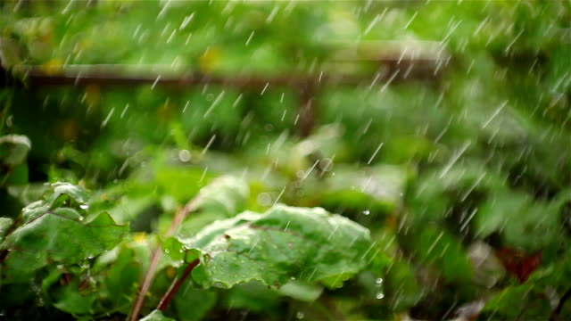 De grandes gouttes de pluie qui tombe sur les plantes - Vidéo