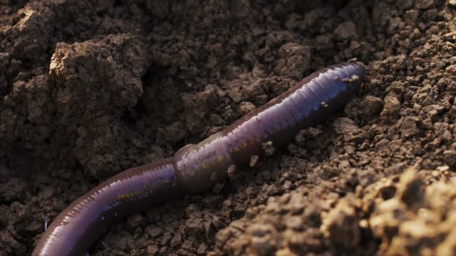 Large earthworm on the ground wriggles and crawls.