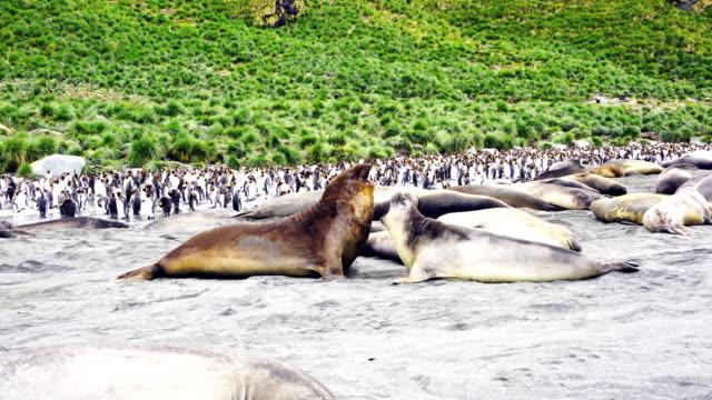 Grandes elefantes tumbados en el suelo mirando a cámara con Colonia del rey de los pingüinos en el fondo. Isla de Georgia del sur - vídeo