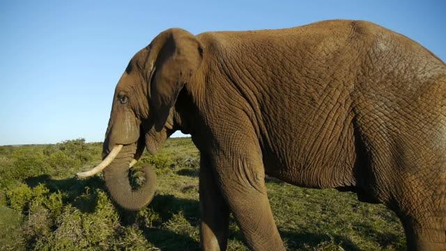 large elephant video