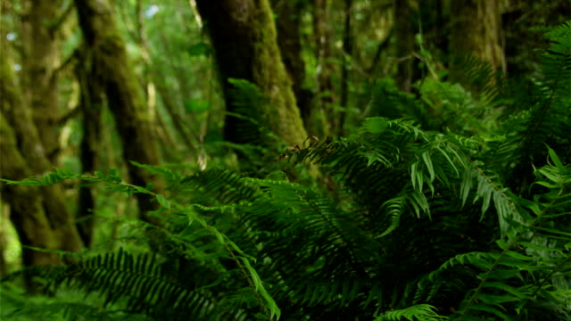Large Ferns In A Redwood Forest Where Danger Lurks. video