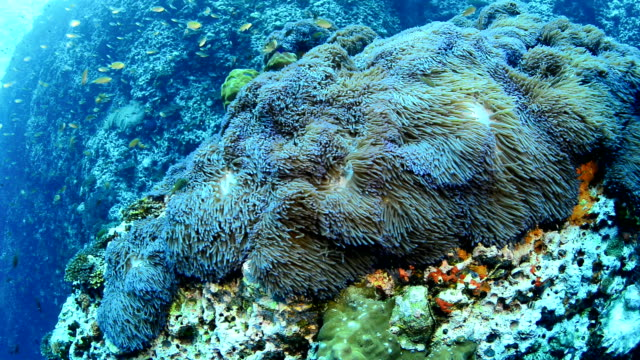 Large field of Anemones in the Gulf of Thailand Large field of Anemones in the Gulf of Thailand, off Koh Tao  undersea stock videos & royalty-free footage
