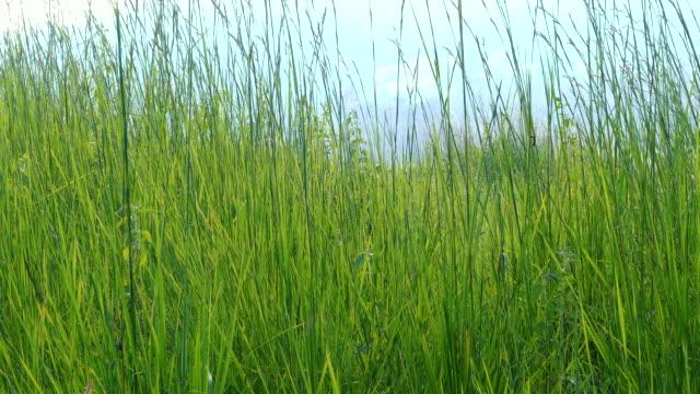 vídeos de stock, filmes e b-roll de um grande campo de reed. - alto descrição geral