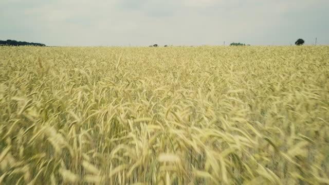 大麦と大きなフィールド。上空表示 - 大麦点の映像素材/bロール