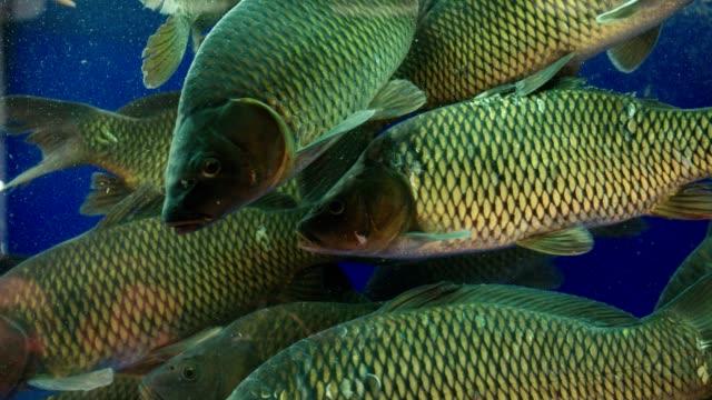 large fish swim in clear aquarium close view slow motion - karp filmów i materiałów b-roll